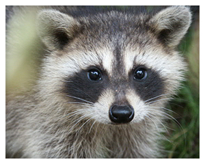 San Diego Raccoon Removal