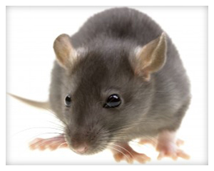 Rat Removal Rancho Sante Fe