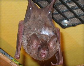Bat Removal San Diego