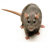 Rat Removal San Diego