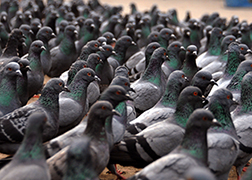 Pigeon Control San Diego