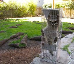 San Diego Raccoon Captured Sod