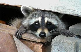 Raccoon Under San Diego House