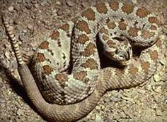 San Diego Snake
